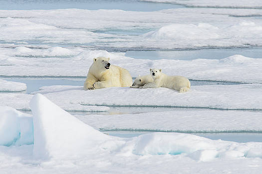 Polar bear mother with cubs by Alexey Seafarer