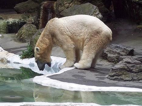 Polar Bear by Nikita Zabowski
