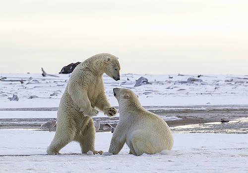 Polar Bear Play-Fighting by Cheryl Strahl