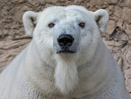 Polar Bear by Rand