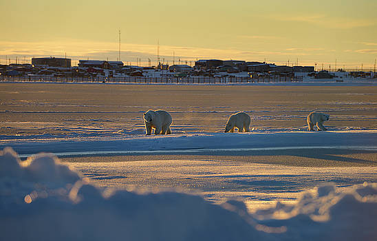 Reimar Gaertner - Polar Bear sow and cubs near the Eskimo village of Kaktovik Alas