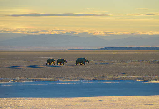 Reimar Gaertner - Polar Bear sow and cubs on Kaktovik Lagoon Alaska with Brooks Ra