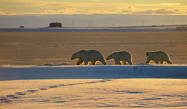 Reimar Gaertner - Polar Bear sow and cubs silhouetted by evening sun on Barter Isl