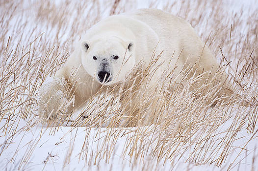 Polar Bear stalking through the grass by Paul Burwell