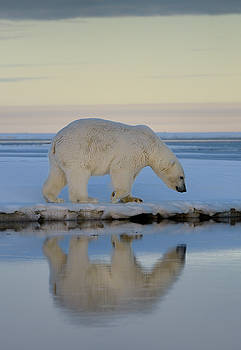 Reimar Gaertner - Polar bear walking on snow covered Barter Island with reflection
