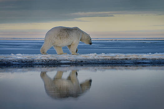 Reimar Gaertner - Polar bear walking on spit of snow covered Barter Island with re