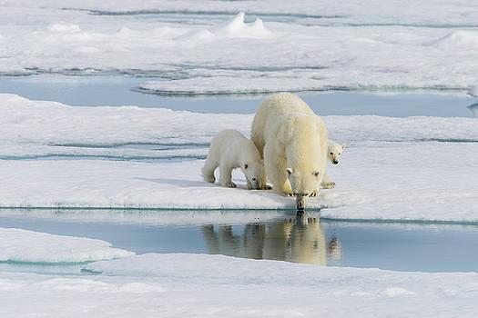 Polar bear with cubs by Alexey Seafarer