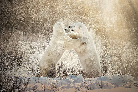 Polar Bears in Golden Light by Cheryl Ramalho