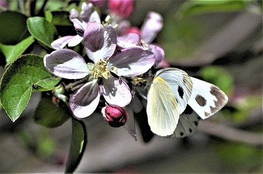 Pollinating the Apple Blossoms by Kim Bemis