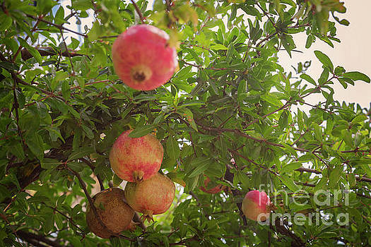 Pomegranate on tree by Sophie McAulay