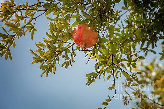 Pomegranate tree on sky background by Sophie McAulay