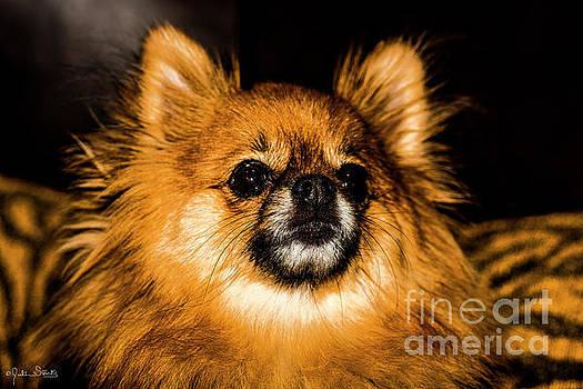 Julian Starks - Pomeranian Chihuahua Mix #1