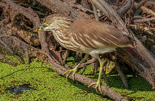 Pond Heron With Fish  by Manjot Singh Sachdeva