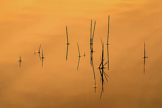 Pond Reeds in Reflected Sunrise by Robert Mitchell