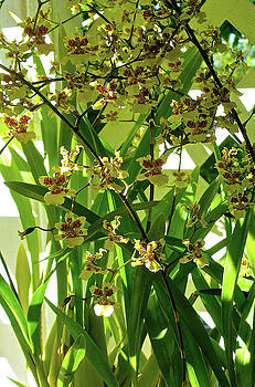 James Temple - Popcorn Orchids