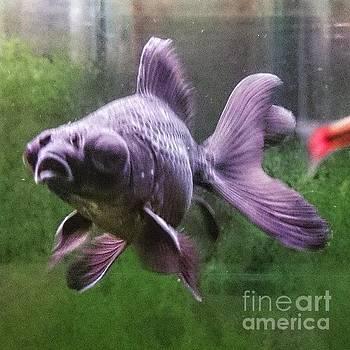 Popeyed gold fish   by Sobajan Tellfortunes