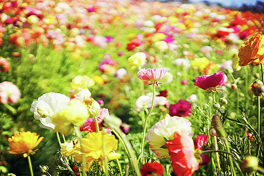 Poppies 1 by Megan Swormstedt