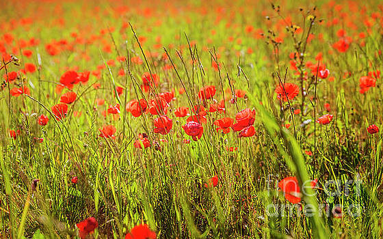Poppies 1 by Tony Priestley