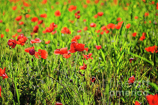 Poppies 2 by Tony Priestley