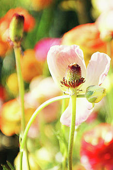 Poppies 4 by Megan Swormstedt