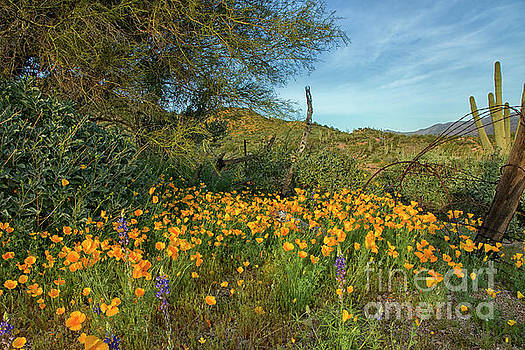 Poppies Abound by Tom Kelly