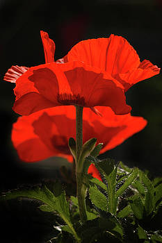 Poppies Alight by ArtissiMo Photography
