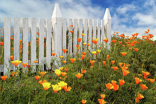 Poppies And A White Picket Fence by James Eddy