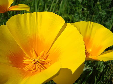 Baslee Troutman - Poppies Art Poppy Flowers 4 Golden Orange California Poppies