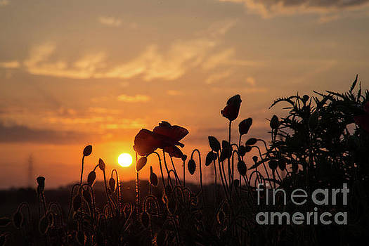 Poppies at sunrise. by Andy Bradley