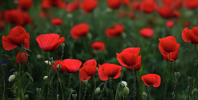 Poppies by Bess Hamiti