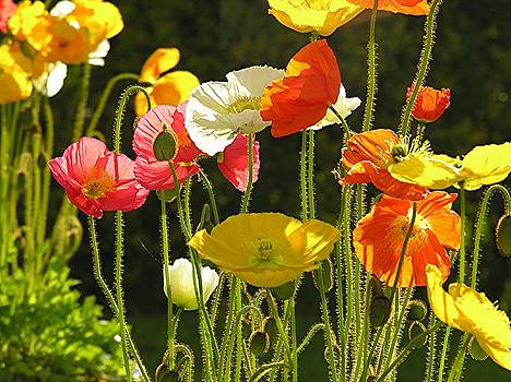 Poppies by Diane Greco-Lesser