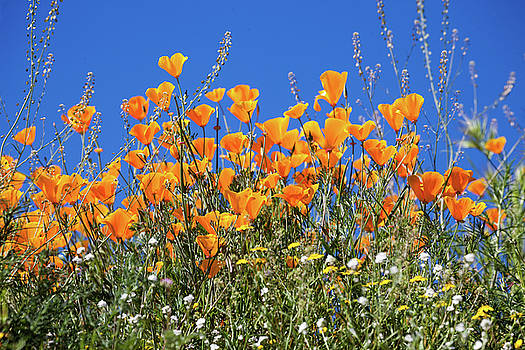 Cliff Wassmann - Poppies from below
