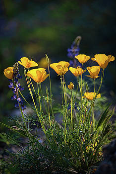Saija Lehtonen - Poppies in The Perfect Light