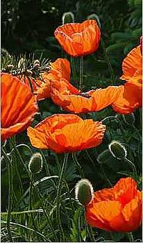 Poppies in the Pines by Willa Davis