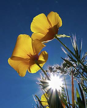 Poppies in the Sun by Trish VanHousen