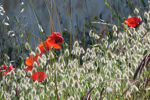 Poppies by Jim Nelson