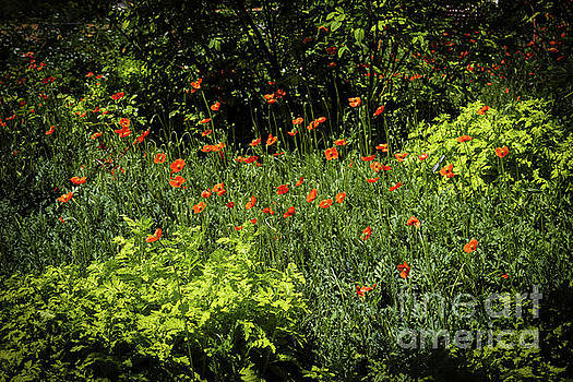 Jon Burch Photography - Poppies