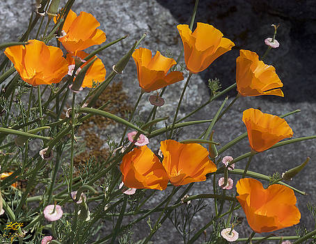 Poppies by Kenneth Hadlock
