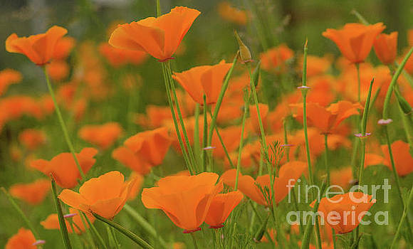 Poppies by Nick Boren