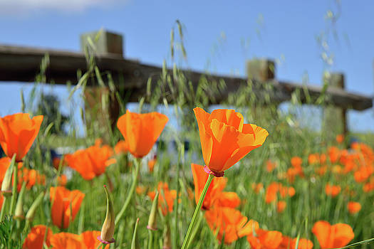 Poppies on the Fence in Spring by Kathy Yates