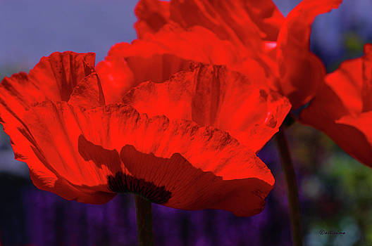 Poppies Pop by ArtissiMo Photography