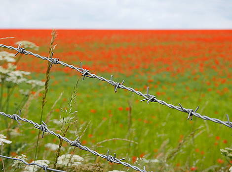Richard Reeve - Poppies