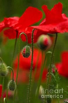 Poppy -4- by Issabild -