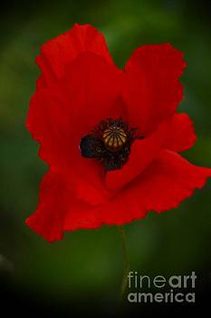 Poppy -7- by Issabild -