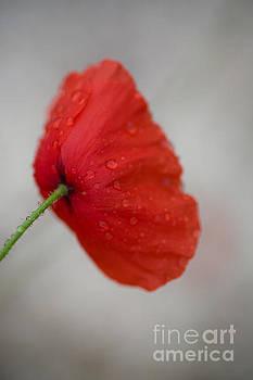 Poppy After the Rain by Rachel Morrison