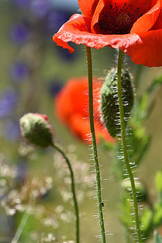 Poppy and Black Aphid by Martin Cooper
