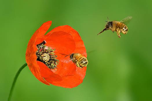 Yuri Peress - Poppy and Bumblebees