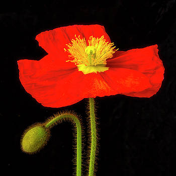 Poppy And New Bud by Garry Gay