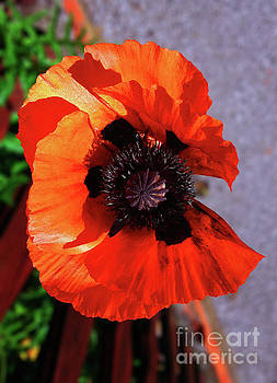 Poppy Beauty by Jasna Dragun