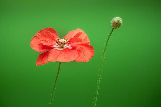 Poppy by Bulik Elena